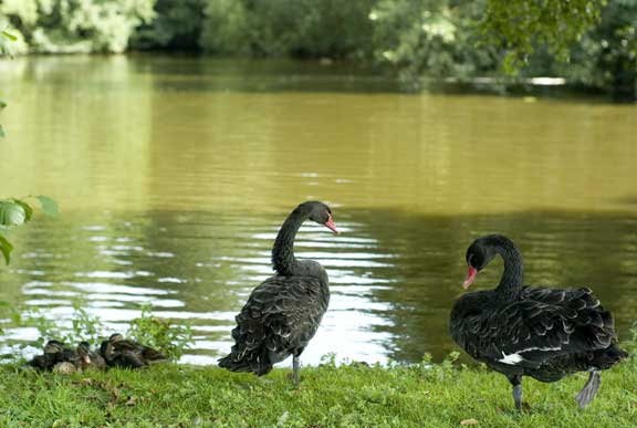 black swans and brood