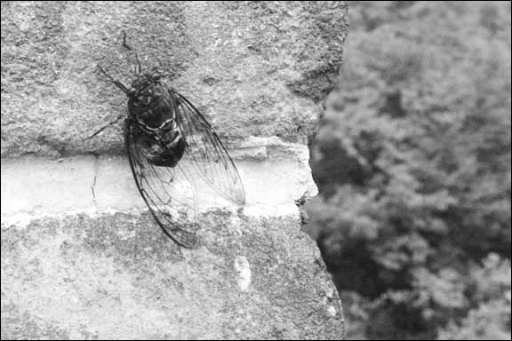 cicada making a racket on the Wall
