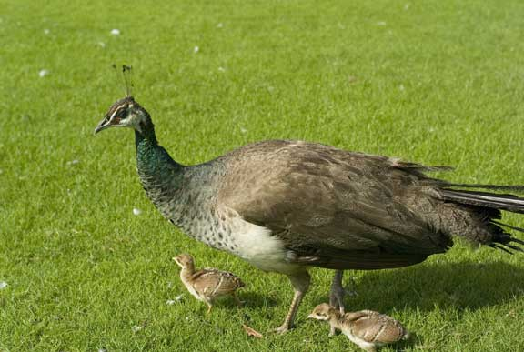 peahen and her chicks